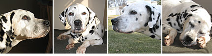 dalmatian rescue of illinois